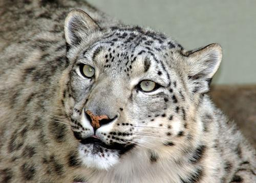 A snow leopard, yesterday.