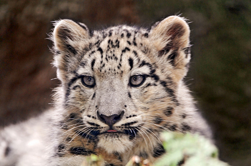 A snow leopard cub, yesterday. (Courtesy Tambako the Jaguar on Flickr)